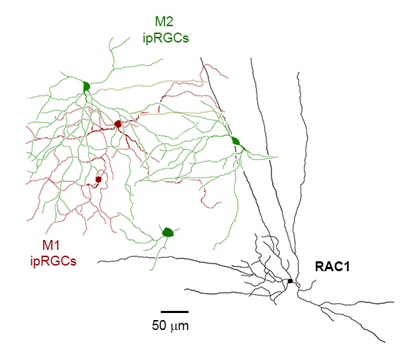 RAC1 receives luminance signals from M2 ipRGCs (green) via electrical transmission through gap junctions, but not from M1 ipRGCs (red). Consequently, the long axons of RAC1 may distribute these luminance signals across long distances and modulate retinal function in a luminance-dependent manner.
